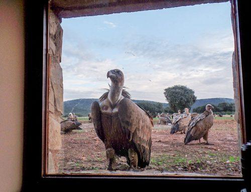 Buitre picoteando uno de las ventanitas de observación del muladar Cerro del Madroñal